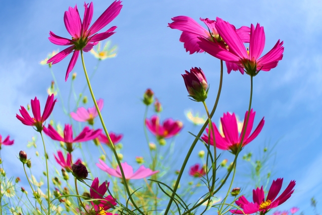 コスモス、花