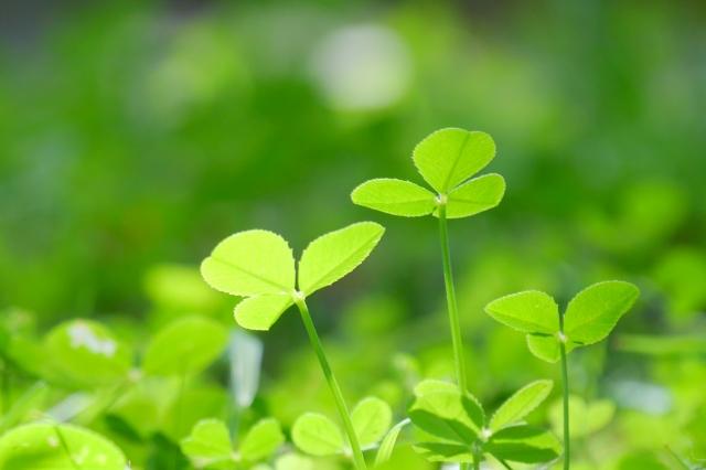 緑、クローバー、自然