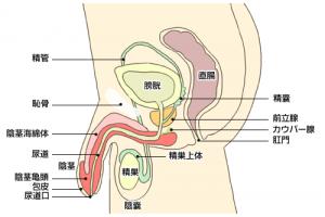 女の生殖器のしくみ。体の構造を知り妊娠力アップにつなげよう
