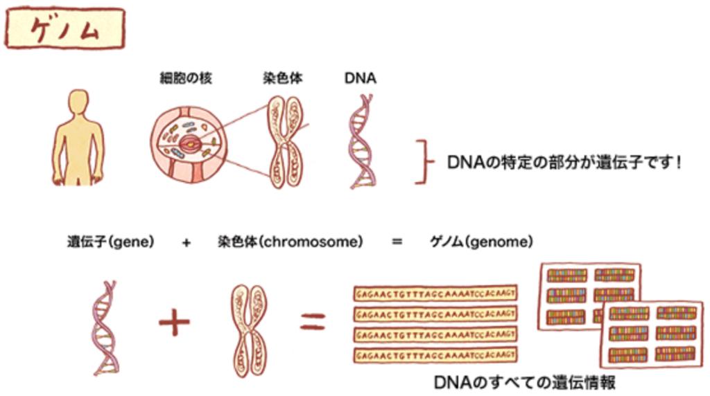 ゲノム、遺伝子、DNA