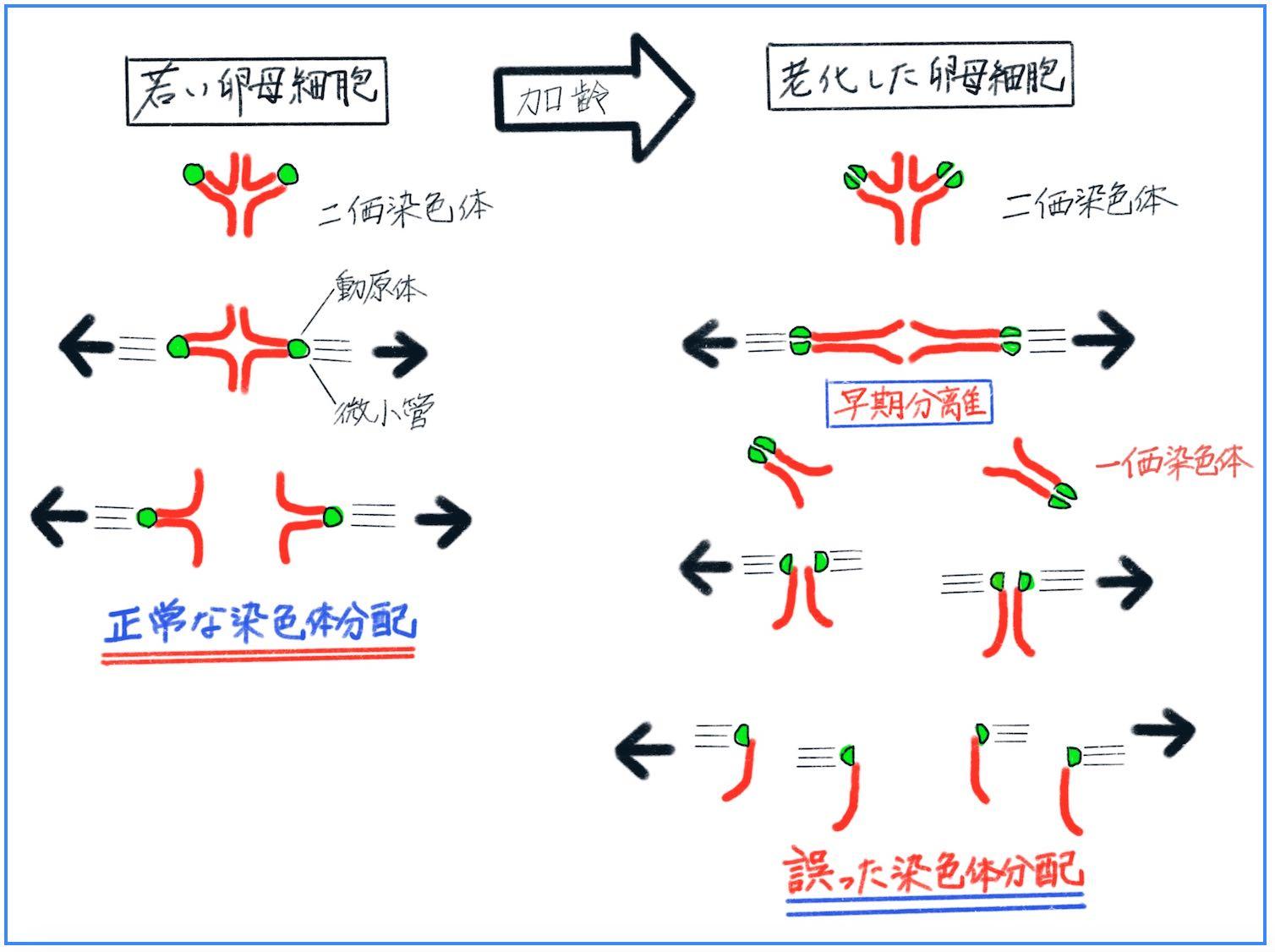 染色体の分配